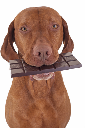 dog eating chocolate poisoning